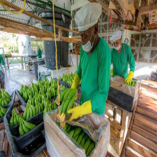 Exportación de banano, con buen ritmo a junioHernandez y Abogados Antioquia, Colombia